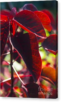 Caribbean Copper Plant Canvas Print by Sharon Mau