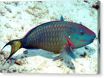 Caribbean Stoplight Parrot Fish In Rainbow Colors Canvas Print by Amy McDaniel
