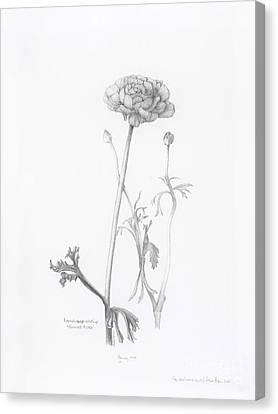 Carlsbad Ranunculus Canvas Print
