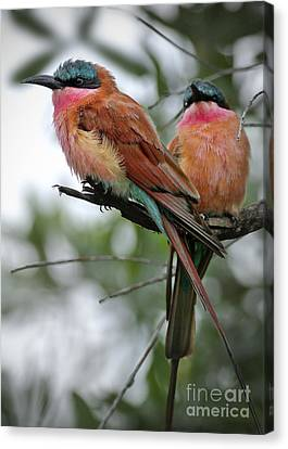 Carmine Bee Eaters Canvas Print