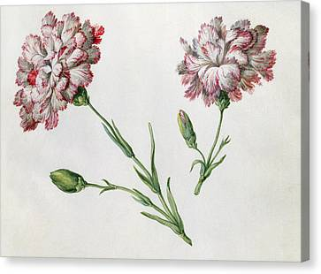Carnations Canvas Print by Claude Aubriet