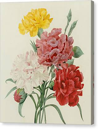 In Bloom Canvas Print - Carnations From Choix Des Plus Belles Fleures by Pierre Joseph Redoute
