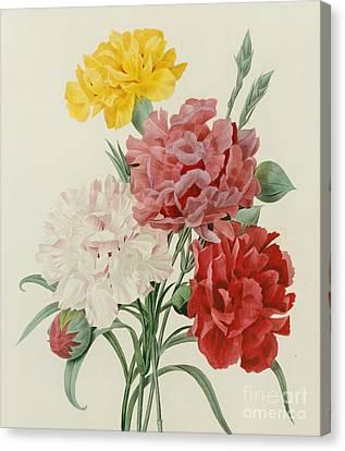 Carnations From Choix Des Plus Belles Fleures Canvas Print by Pierre Joseph Redoute