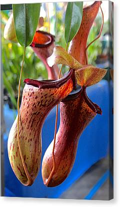 Carnivorous Pitcher Plants Canvas Print