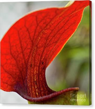 Carnivorous Plants 2 Canvas Print by Heiko Koehrer-Wagner