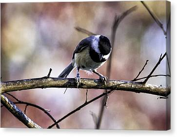 Landscape Canvas Print - Carolina Chickadee by Barry Jones