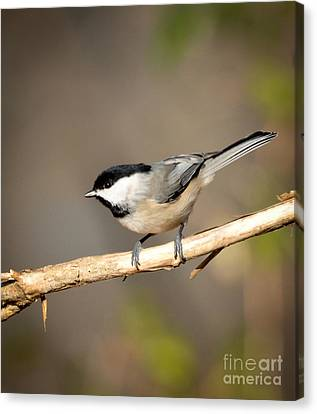 Carolina Chickadee  Canvas Print by Kerri Farley