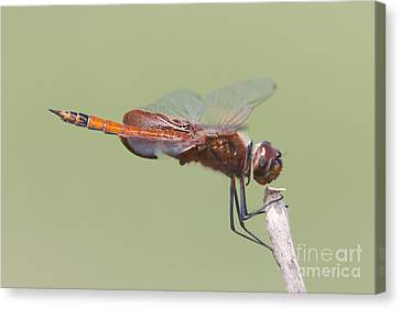 Carolina Saddlebags Dragonfly II Canvas Print by Clarence Holmes