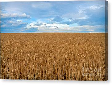 Carolina Wheat Field Canvas Print by Marion Johnson