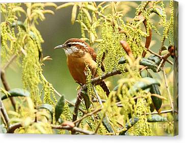 Carolina Wren Canvas Print by Jennifer Zelik