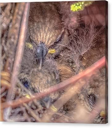 Canvas Print featuring the photograph Carolina Wren Nest by Rob Sellers