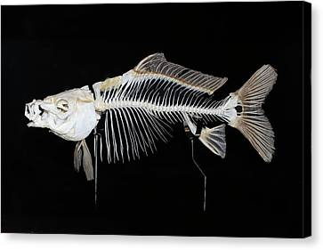 Carp Skeleton Canvas Print