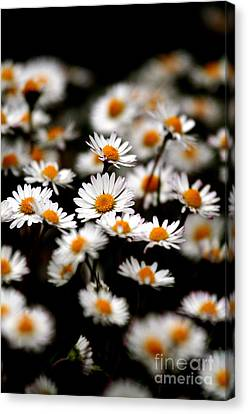 Carpet Of Daisies Canvas Print