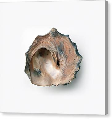 Carrier Shell (xenophora) Canvas Print by Dorling Kindersley/uig