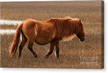 Carrot Island Pony Canvas Print