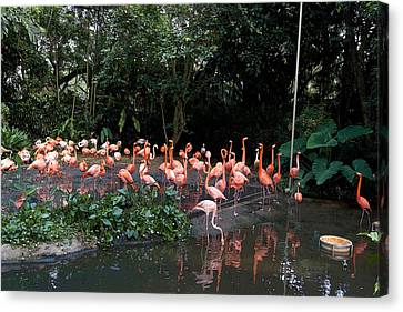 Cartoon - Flamingos In Their Exhibit Along With A Small Lake In The Jurong Bird Park Canvas Print