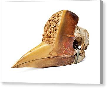 Hornbill Canvas Print - Carved Hornbill Skull by Natural History Museum, London