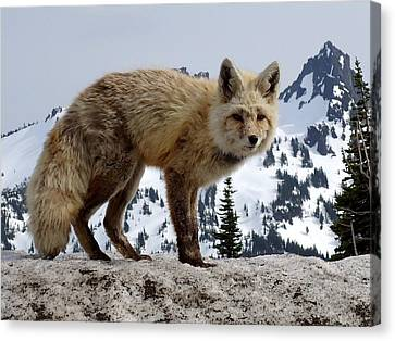 Cascade Red Fox 1 Canvas Print by Peter Mooyman