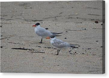 Canvas Print featuring the photograph Caspian Tern Young And Adult by James Petersen