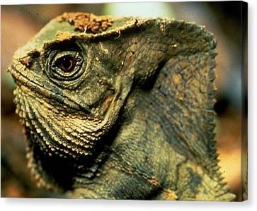 Casque-headed Iguana Canvas Print