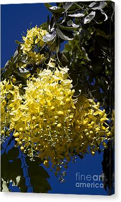 Cassia Fistula - Golden Shower Tree Canvas Print by Sharon Mau