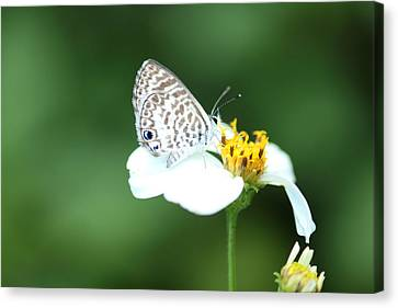 Canvas Print featuring the photograph Cassius Blue On Wildflower by Greg Allore