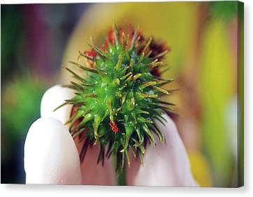 Nature Study Canvas Print - Castor Bean Pod by Brian Prechtel/us Department Of Agriculture