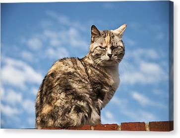 Cat On A Hot Brick Wall Canvas Print by Steve Purnell