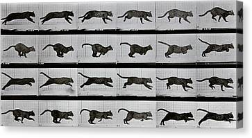 Cat Running Canvas Print by Eadweard Muybridge