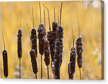 Cat Tails In November Canvas Print