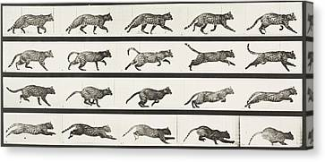 Cat Trotting Changing To A Gallop Canvas Print by Celestial Images