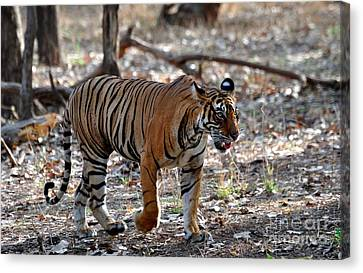 Cat Walk Of Tiger Canvas Print by Manjot Singh Sachdeva