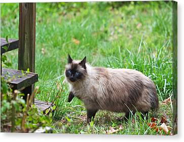 Cat Walking Canvas Print by Melinda Fawver