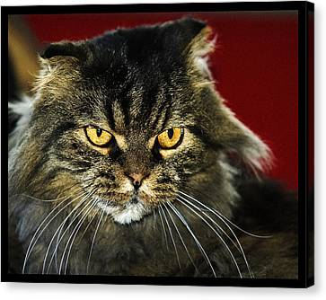 Cat With An Attitude Canvas Print by Robert Culver