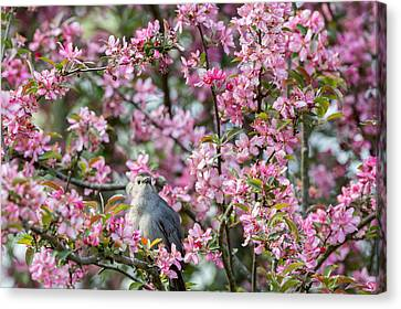 Catbird In A Pear Tree Canvas Print
