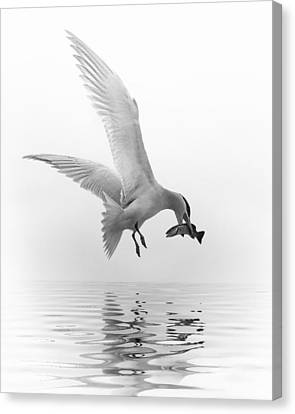 Flying Seagull Canvas Print - Catch Of The Day-2 by Nina Bradica