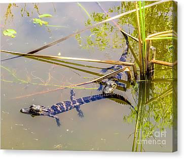 Crocodile Canvas Print - Catch Up. Gator Babies by Zina Stromberg