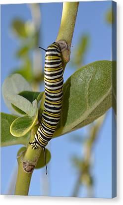 Caterpillar Canvas Print by Bonita Hensley
