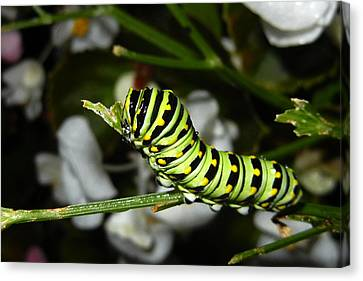 Canvas Print featuring the photograph Caterpillar Camouflage by Bill Swartwout