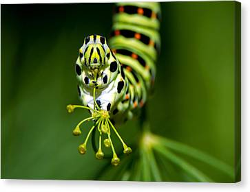 Caterpillar Of The Old World Swallowtail Canvas Print