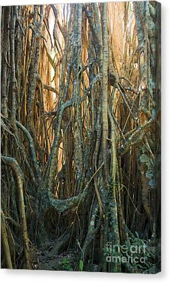 Cathedral Fig In Australia Canvas Print