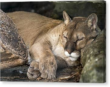 Catnap Canvas Print by Phil Abrams