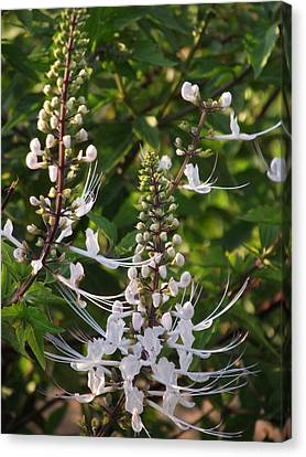Cat's Whiskers Canvas Print by Jayne Wilson