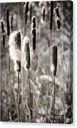 Cattails In Winter Canvas Print by Elena Elisseeva