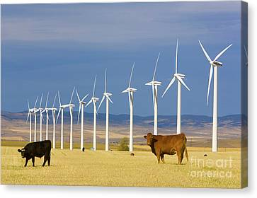 Cattle And Windmills In Alberta Canada Canvas Print by Yva Momatiuk and John Eastcott
