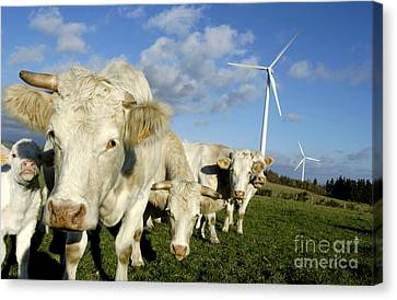 Wind Turbines Canvas Print - Cattle by Bernard Jaubert