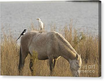 Cattle Egret And Magpie Pica Pica Canvas Print by Bob Gibbons
