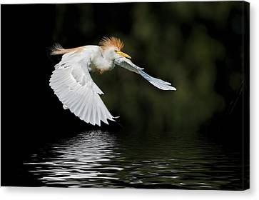 Cattle Egret In Flight Canvas Print by Bonnie Barry