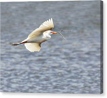 Cattle Egret In Flight Canvas Print by Dawn Currie
