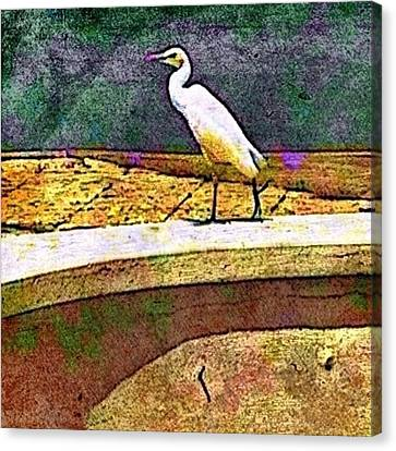 Cattle Egret In Town - Square Canvas Print by Lyn Voytershark